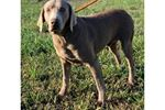 Picture of Luther-Silver Lab!  AKC Registered