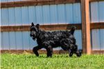 Picture of Frankie's pups-AKC Registered