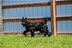 Picture of Gypsy AKC Reg