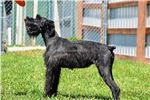 Picture of Nikki-OFA parents & champions in pedigree