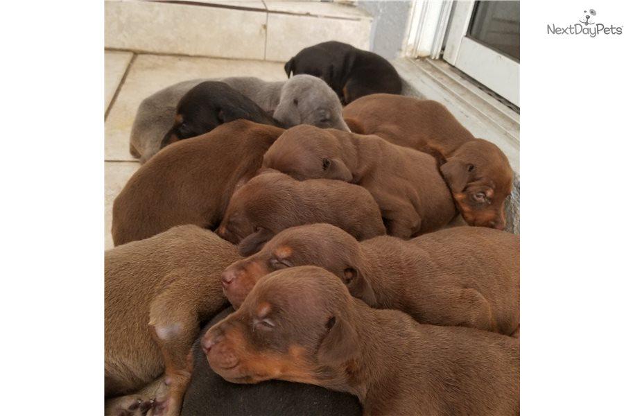 red doberman pinscher puppy for sale near south florida florida