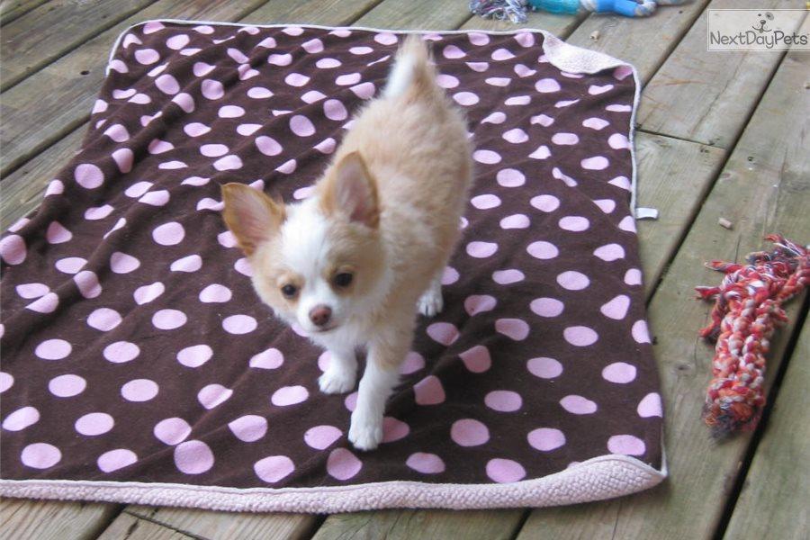 Red Chihuahua Puppy For Sale Near Grand Rapids Michigan 7244e7ac