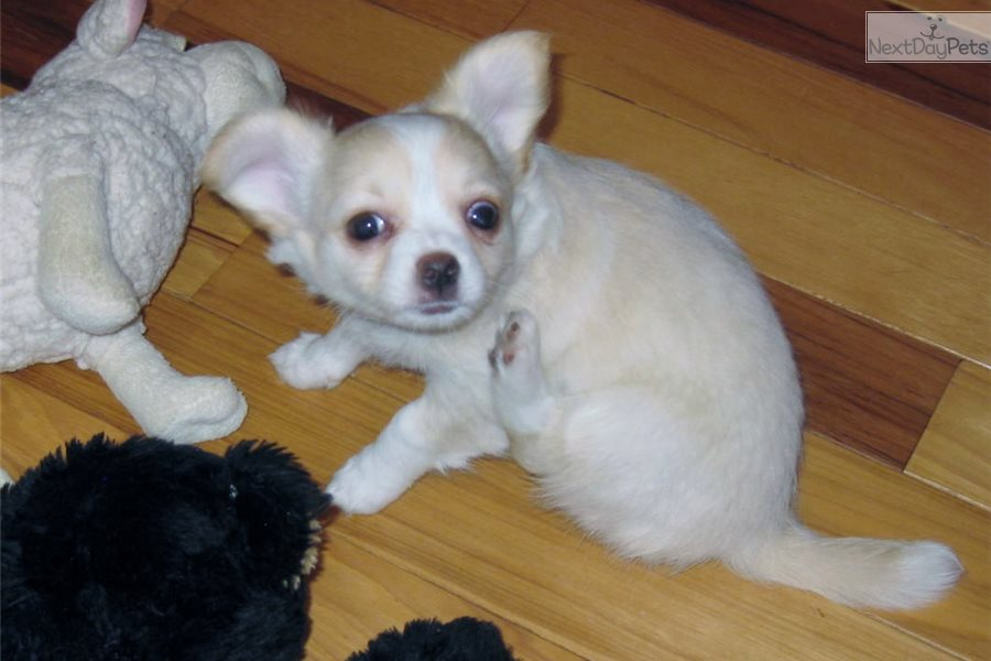 Sweetie Chihuahua Puppy For Sale Near Grand Rapids Michigan