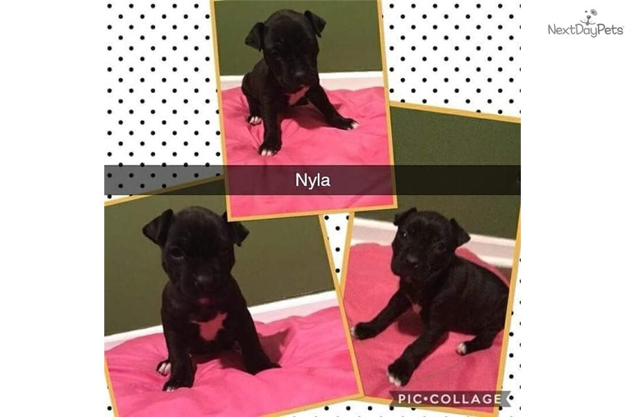 Nyla: American Bully puppy for sale near Detroit Metro