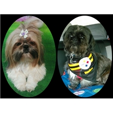 View full profile for Tennessee's Treasured Shihtzu