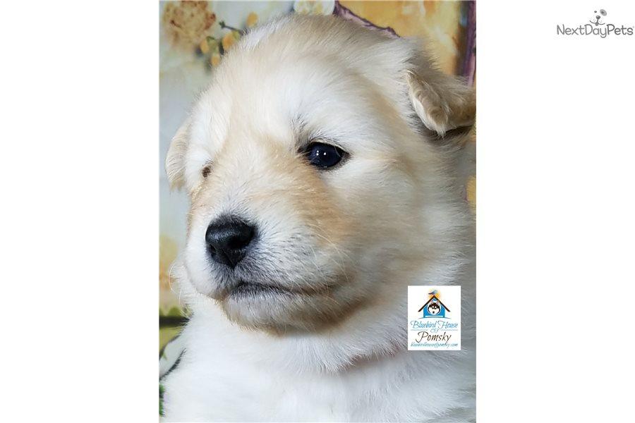 Annie Pomsky Puppy For Sale Near Minneapolis St Paul Minnesota