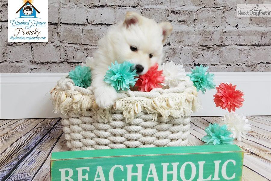 Adina Little Llama: Pomsky puppy for sale near Minneapolis