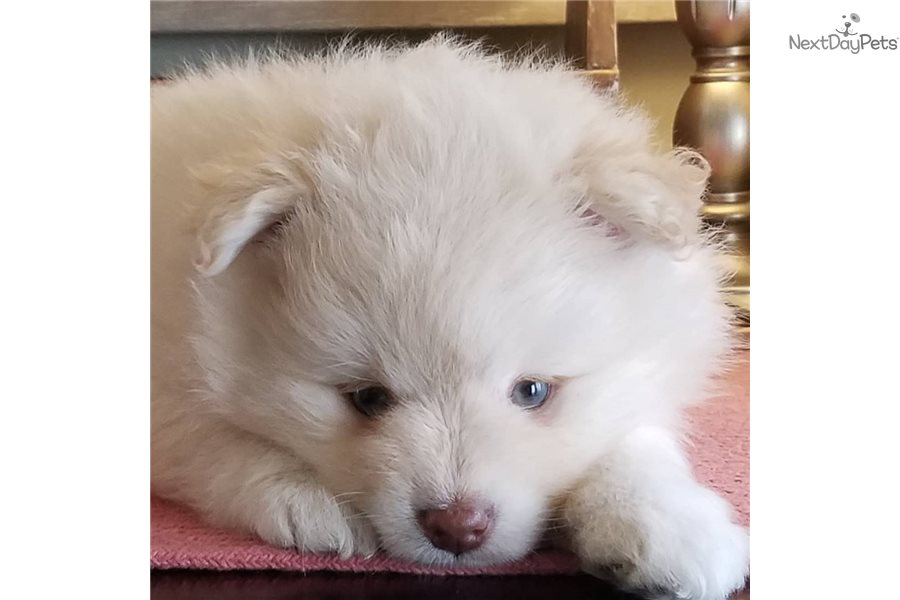 Croix : Pomsky puppy for sale near Minneapolis / St Paul, Minnesota