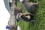 Picture of American Pit Bull Terrier