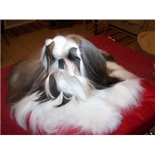 View full profile for Dan Su Shih Tzu