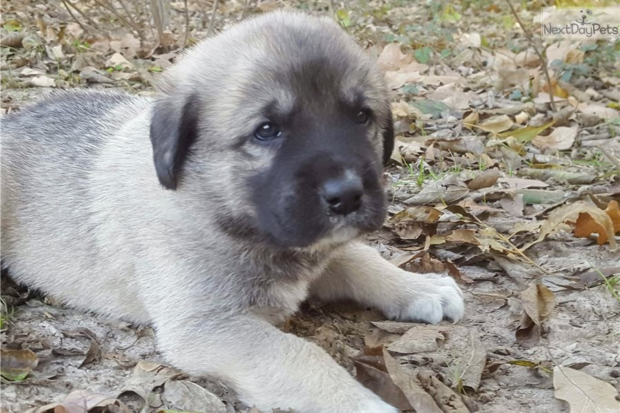 Anatolian Shepherd puppy for sale near Dallas / Fort Worth