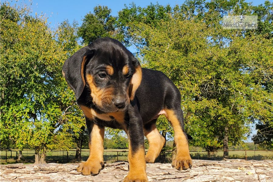 Buy Bloodhound Puppies in Manitoba Canada