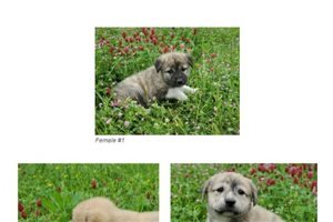 March Female  | Puppy at 6 weeks of age for sale