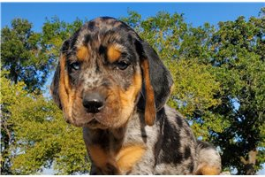 Featured Breeder of Catahoula Leopard Dogs with Puppies For Sale