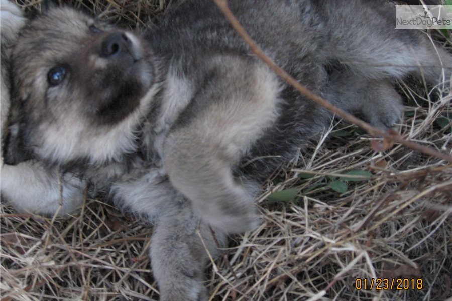 Tina: Wolf Hybrid puppy for sale near Lakeland, Florida | 91f8322b-a481