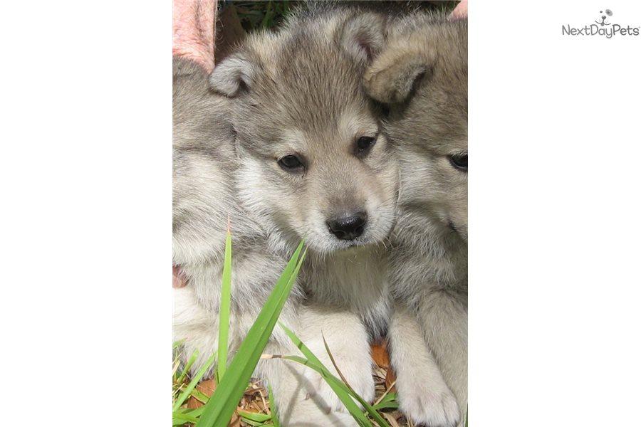 Robi Wolf Hybrid Puppy For Sale Near Lakeland Florida F8526db7 E0b1