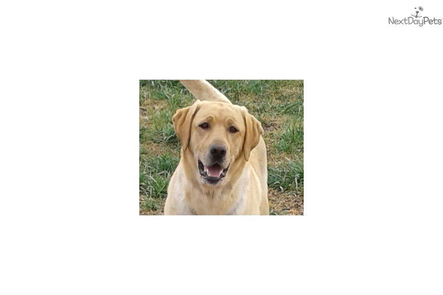 Labrador Retriever Puppy For Sale Near Greenville Upstate South