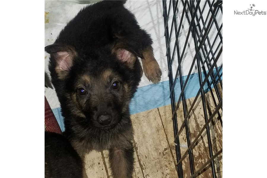 German Shepherd Puppy For Sale Near Muncie Anderson Indiana
