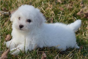 Pippin - Bichon Frise for sale