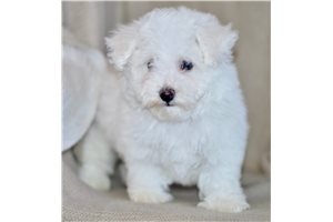 Brooks - Bichon Frise for sale