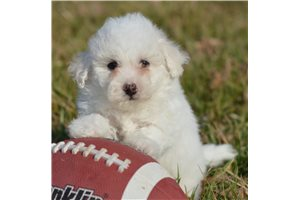 Griffin - Bichon Frise for sale