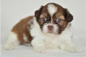 Ree - Shih Tzu for sale