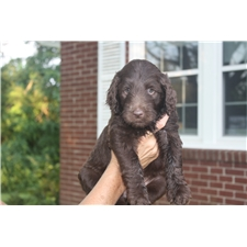 View full profile for Ridge Top Puppies