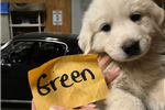 Picture of Great Pyrenees Male Puppy