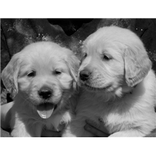 View full profile for Heritage Goldens