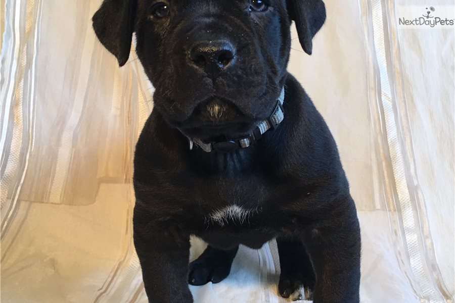 Neptune South African Boerboel Puppy For Sale Near Harrisburg