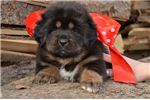 Pure Bred Tibetan Mastiff Puppy | Puppy at 19 weeks of age for sale