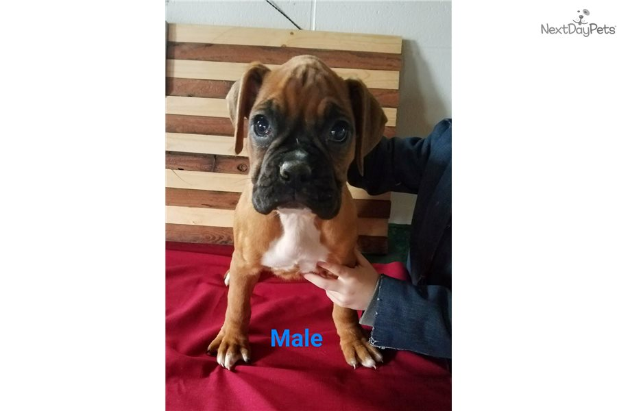 boxer puppy for sale near akron canton ohio 23f4fd06 9601. Black Bedroom Furniture Sets. Home Design Ideas