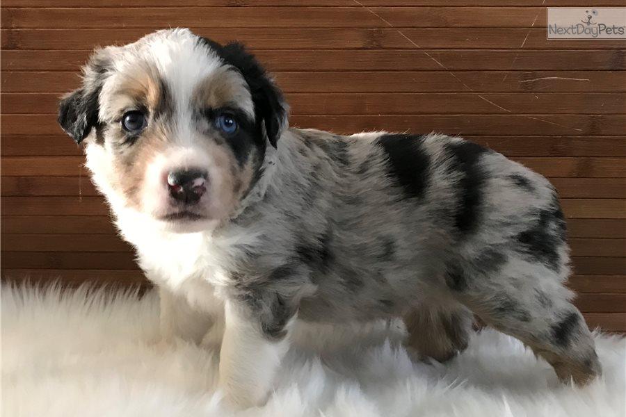 Miniature Australian Shepherd Puppies For Sale Autos Post