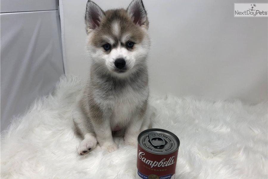 luna alaskan klee kai puppy for sale near northern