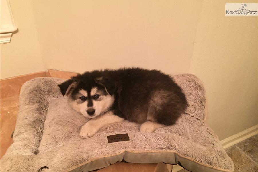 Apollo Wolf Hybrid Puppy For Sale Near Little Rock Arkansas