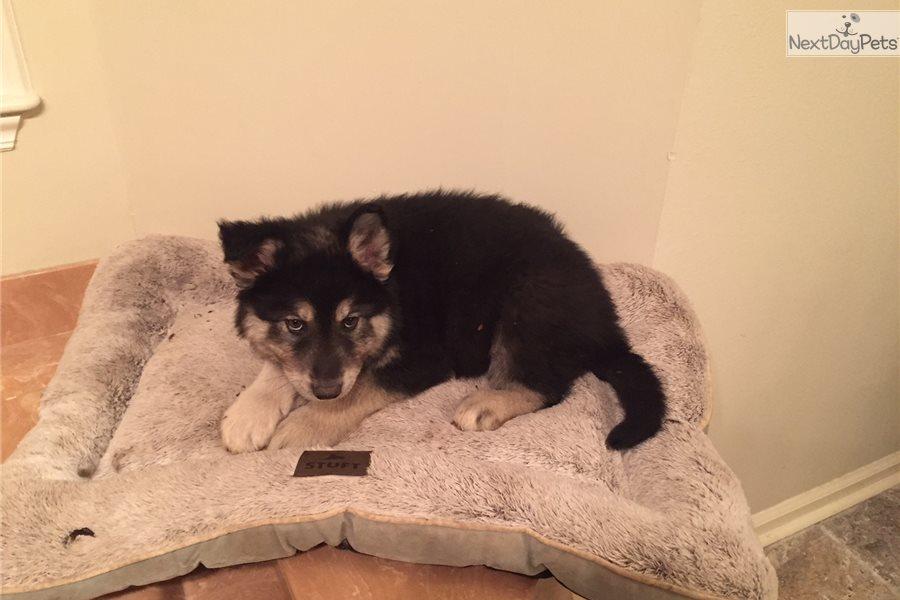 Bear Wolf Hybrid Puppy For Sale Near Little Rock Arkansas