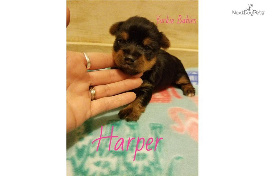 Harper: Yorkshire Terrier - Yorkie puppy for sale near Des