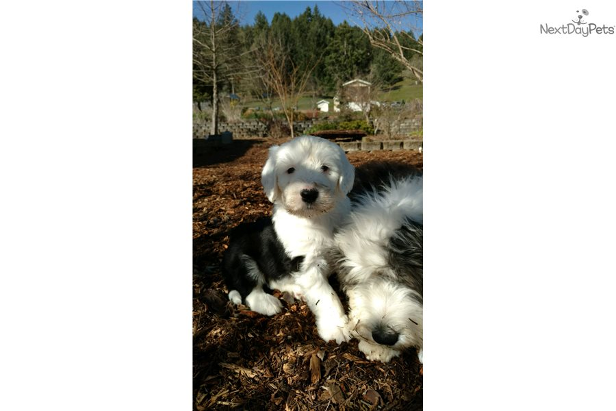 Accolades and breeding experience for your Olde English Sheepdog breeder