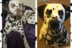 Expecting Dalmatian puppies | Puppy at Available soon of age for sale