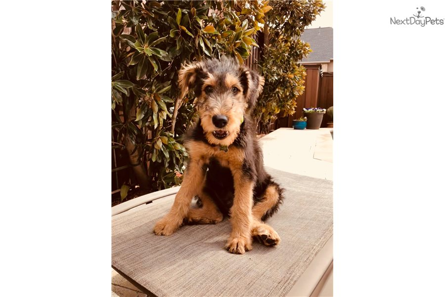 Florida Akc Male Airedale Terrier Puppy For Sale Near Sarasota