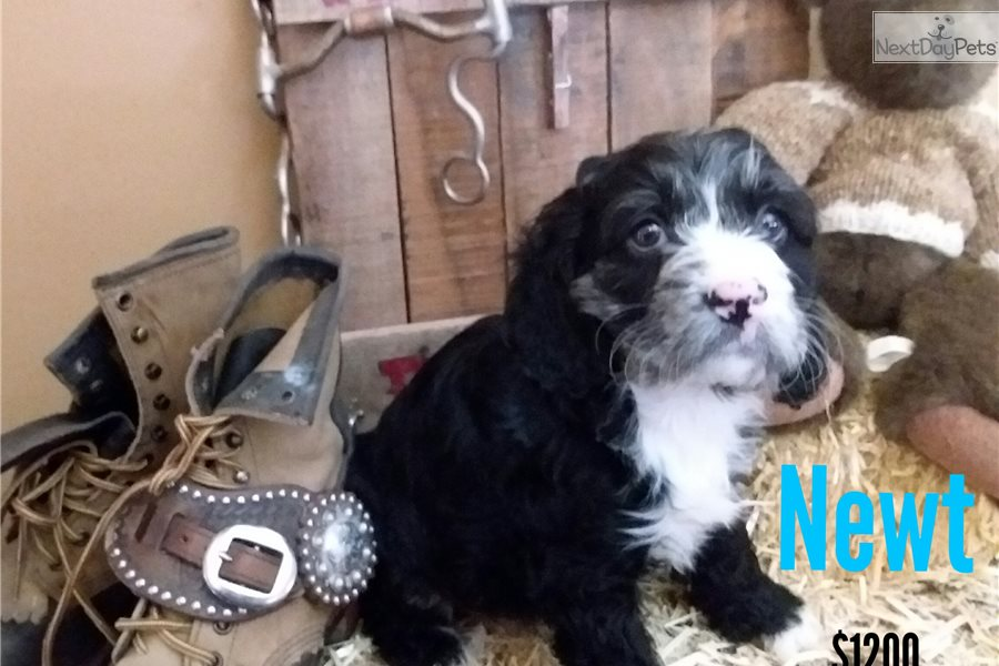 Newt: Cockapoo puppy for sale near Wyoming | c770c18e-3d71