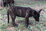 Picture of Dutch Shepherd pups