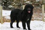 Newfoundland Puppies for Sale - Page 2