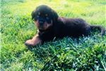 Picture of German Rottweiler