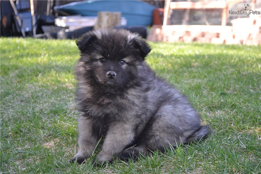 Smiling Dutchman Keeshond Puppy For Sale Near Denver Colorado