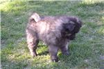 Picture of Female Keeshond Puppy