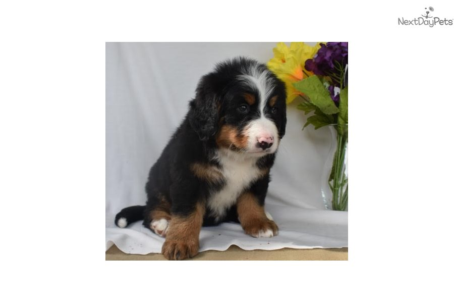 Bernese Mountain Dog Puppy For Sale Near Columbus Ohio