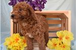 Picture of Mini Poodle Paprika