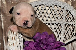 American Bulldogs for sale