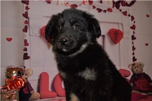 Sasha | Puppy at 10 weeks of age for sale